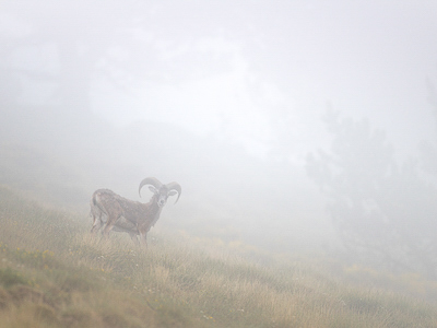 Mouflon in the fog
