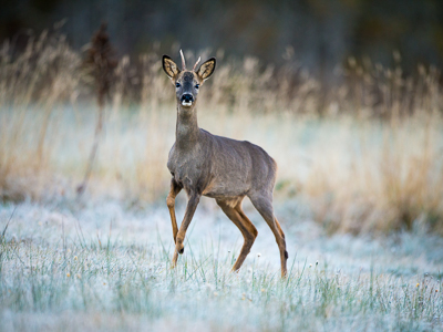 Roe deer during winter