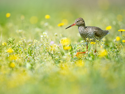 Common redshank in a flower garden