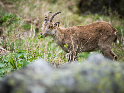 Reintroduction of iberian ibex