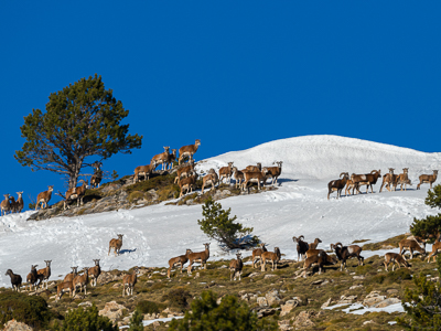 Mouflons during rutting period